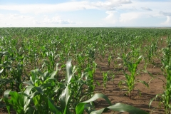 Healthy weed free maize lumax works